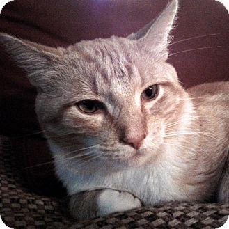 Domestic Shorthair Cat for adoption in Toronto, Ontario - Rusty