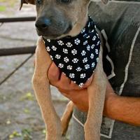 American Pit Bull Terrier/Labrador Retriever Mix Dog for adoption in Von Ormy, Texas - Imogen