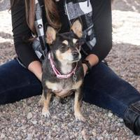 Adopt A Pet :: Dot - Rio Rancho, NM