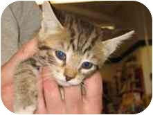Domestic Shorthair Kitten for adoption in Tracy, California - Mason