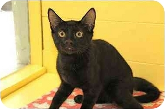 Domestic Shorthair Kitten for adoption in Englewood, Florida - Hershey