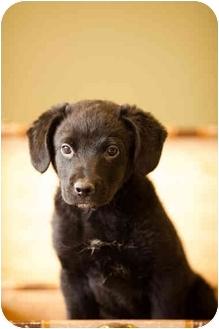 Labrador Retriever/German Shepherd Dog Mix Puppy for adoption in Portland, Oregon - Fitz