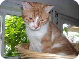 Domestic Shorthair Cat for adoption in Pickering, Ontario - Denver