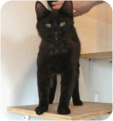 Domestic Shorthair Cat for adoption in St. James, Missouri - Little John