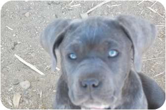 Mastiff/Catahoula Leopard Dog Mix Puppy for adoption in Arenas Valley, New Mexico - Kora