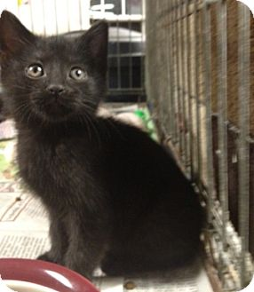 American Shorthair Kitten for adoption in Hagerstown, Maryland - Beyonce