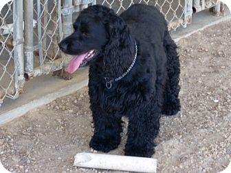 Cocker Spaniel Mix Dog for adoption in Southampton, Pennsylvania - Black Magic