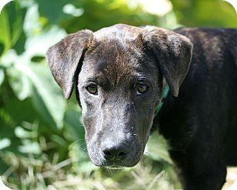 Labrador Retriever/Pit Bull Terrier Mix Dog for adoption in West Richland, Washington - Jenga