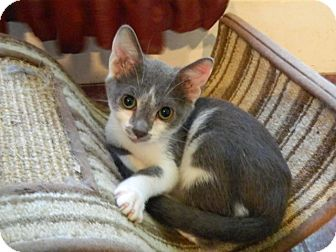 Domestic Shorthair Cat for adoption in The Colony, Texas - Bowie