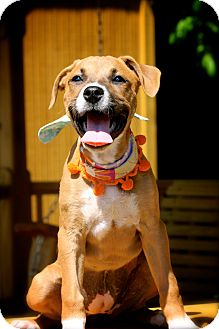 Boxer Mix Puppy for adoption in Wilmington, Delaware - Belle