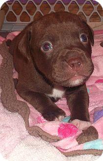 American Pit Bull Terrier Mix Puppy for adoption in Dayton, Ohio - Gunner