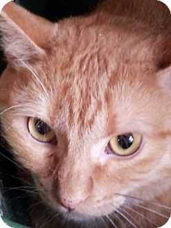 Domestic Shorthair Cat for adoption in Morris, Illinois - SPICE