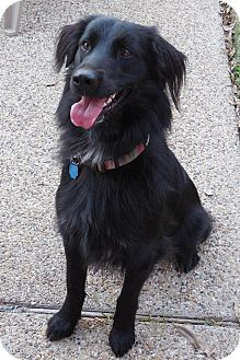 Flat-Coated Retriever Mix Dog for adoption in Coppell, Texas - Finley
