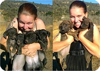 American Pit Bull Terrier Mix Puppy for adoption in Sacramento, California - 4 pups, both genders