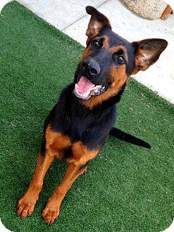 German Shepherd Dog/Shepherd (Unknown Type) Mix Dog for adoption in Lake Worth, Texas - Gunther