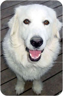 Great Pyrenees Dog for adoption in Kyle, Texas - Asia