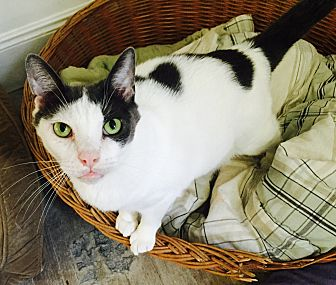 Domestic Shorthair Cat for adoption in Monroe, Connecticut - Greg