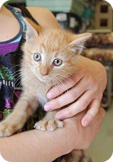Domestic Shorthair Kitten for adoption in Brooklyn, New York - Jacky