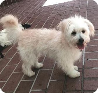 Poodle (Miniature)/Terrier (Unknown Type, Small) Mix Dog for adoption in Atlanta, Georgia - Muffin