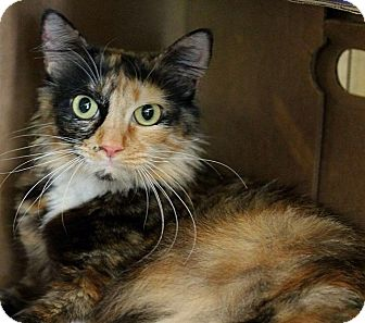 Maine Coon Cat for adoption in Rocklin, California - Sierra Madre