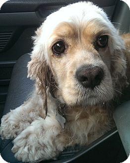 Cocker Spaniel Mix Dog for adoption in Thousand Oaks, California - Rosemary