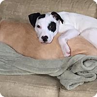 Adopt A Pet :: Abby - CHAMPAIGN, IL