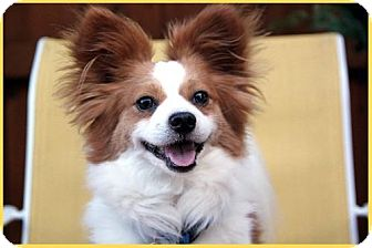 Papillon Dog for adoption in Dallas, Texas - Tigger