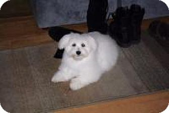 Coton de Tulear Mix Dog for adoption in Alpharetta, Georgia - Lewie