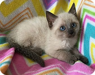 Siamese Kitten for adoption in Tampa, Florida - Taylor