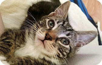 Domestic Shorthair Kitten for adoption in Troy, Michigan - Nimo
