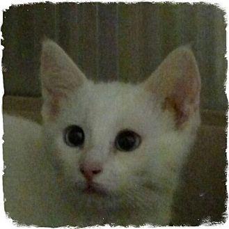 Siamese Kitten for adoption in Pueblo West, Colorado - Trixie