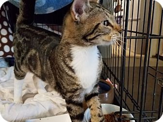 Domestic Shorthair Kitten for adoption in Fallbrook, California - Jett