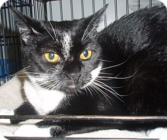 Domestic Shorthair Cat for adoption in Germansville, Pennsylvania - Felicia
