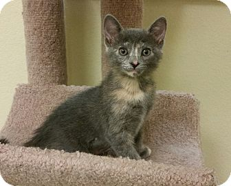 Domestic Mediumhair Kitten for adoption in Phoenix, Arizona - Carrie