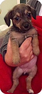 Schnauzer (Miniature)/Dachshund Mix Puppy for adoption in Fishkill, New York - MOLLY, MOE AND MIKE