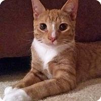 Adopt A Pet :: Secretariat - Merrifield, VA