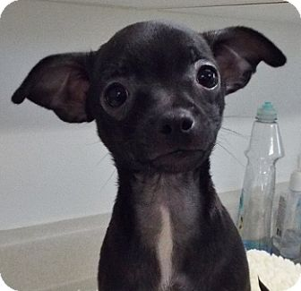 Chihuahua Mix Puppy for adoption in Grants Pass, Oregon - Mickey