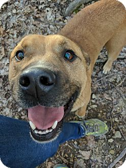 Boxer/Shepherd (Unknown Type) Mix Dog for adoption in Goodlettsville, Tennessee - Tank