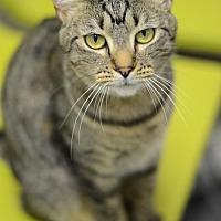 Domestic Shorthair Cat for adoption in Atlanta, Georgia - Emmy 160354