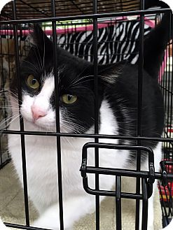 Domestic Shorthair Cat for adoption in College Station, Texas - Oreo