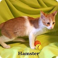 Adopt A Pet :: Hamster - Bentonville, AR