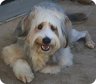 Bearded Collie/Old English Sheepdog Mix Dog for adoption in Allentown, Pennsylvania - Frosty