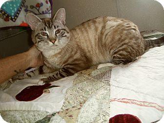 Siamese Cat for adoption in Medford, Wisconsin - MOCHA