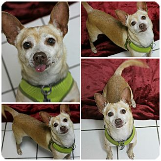 Chihuahua Dog for adoption in Forked River, New Jersey - Angel