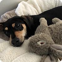 Adopt A Pet :: MURPHY - Emeryville, CA