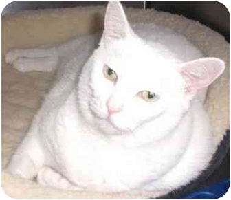 Siamese Cat for adoption in Coral Springs, Florida - Asia