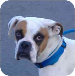 Boxer Dog for adoption in Reno, Nevada - Iggy