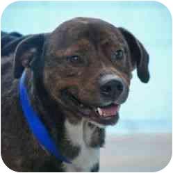 Rottweiler/American Pit Bull Terrier Mix Dog for adoption in Berkeley, California - Hifee
