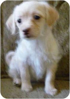 Yorkie, Yorkshire Terrier/Chihuahua Mix Puppy for adoption in Greensboro, North Carolina - Blondie