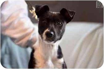 Rat Terrier/Boston Terrier Mix Puppy for adoption in Cincinnati, Ohio - Bonita: in Clifton